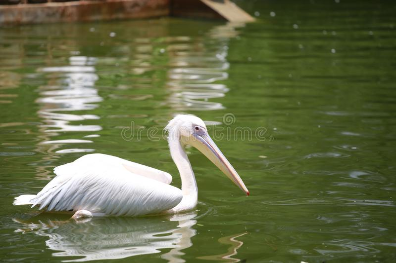 Pelicans are a genus of large water birds that make up the family Pelecanidae. They are characterised by a long beak and a large t. Hroat pouch used for catching royalty free stock image