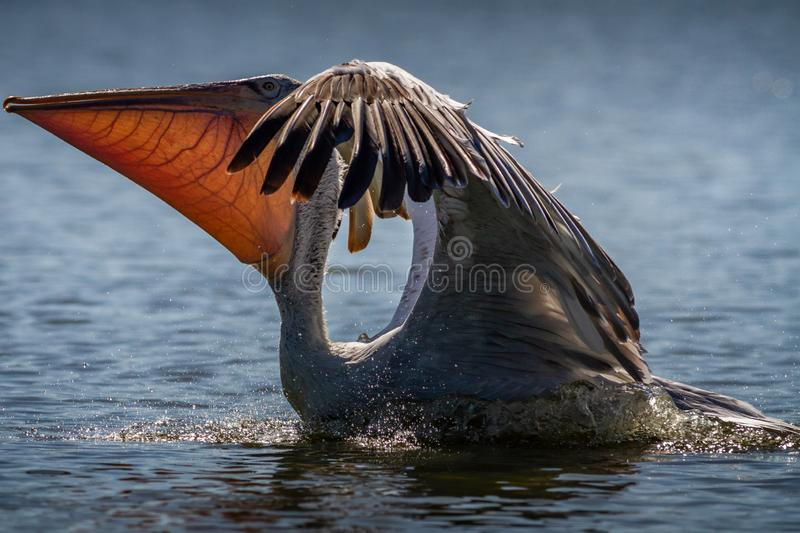 Pelican Landing in Lake. Pelicans are a genus of large water birds that make up the family Pelecanidae. They are characterised by a long beak and a large throat royalty free stock photos