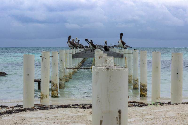 Pelicans and gulls line an abandoned pier on the east shore of Caye Caulker. royalty free stock photos