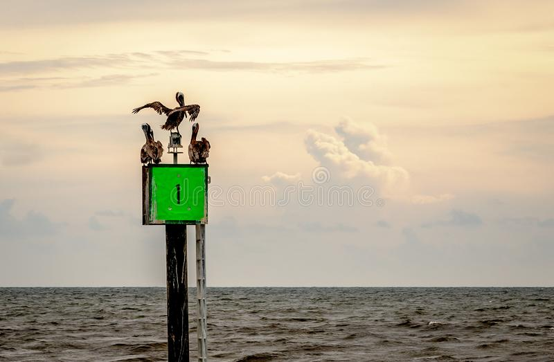 Pelicans hanging out and drying there feathers royalty free stock photography