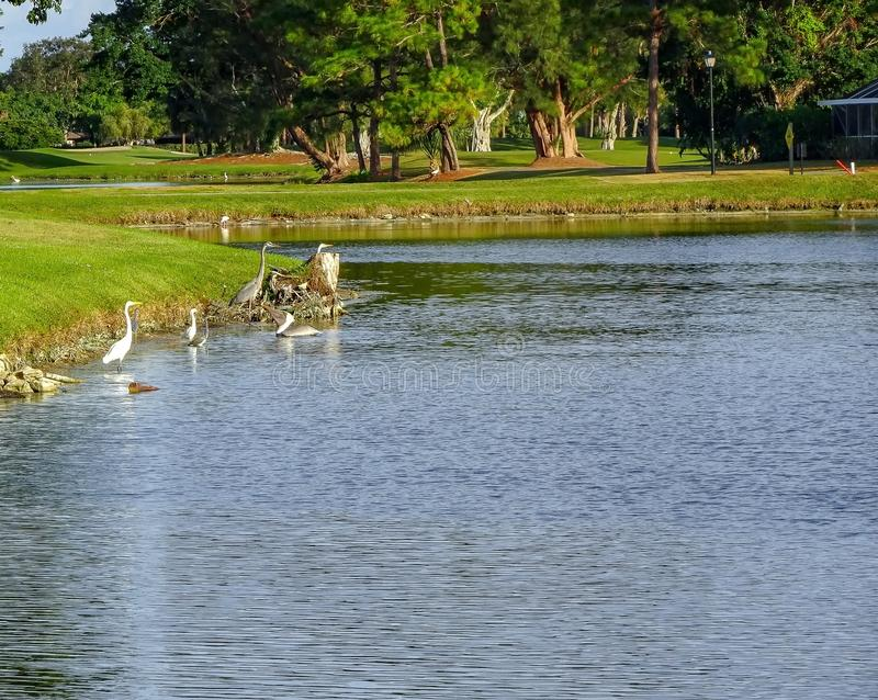 herons, pelicans, and ibis in the swamp royalty free stock photos