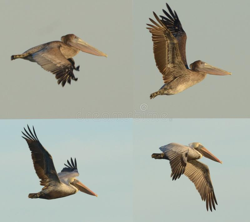 Pelicans are an iconic beach seabird throughout the entire world stock photos