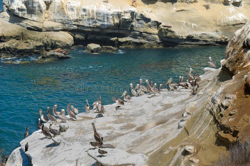 Pelicans at La Jolla Cove. Brown pelicans at la jolla cove in san diego, california, animal, aquatic, bay, beach, bird, birds, , , , ecology, harbor, horizontal royalty free stock photo