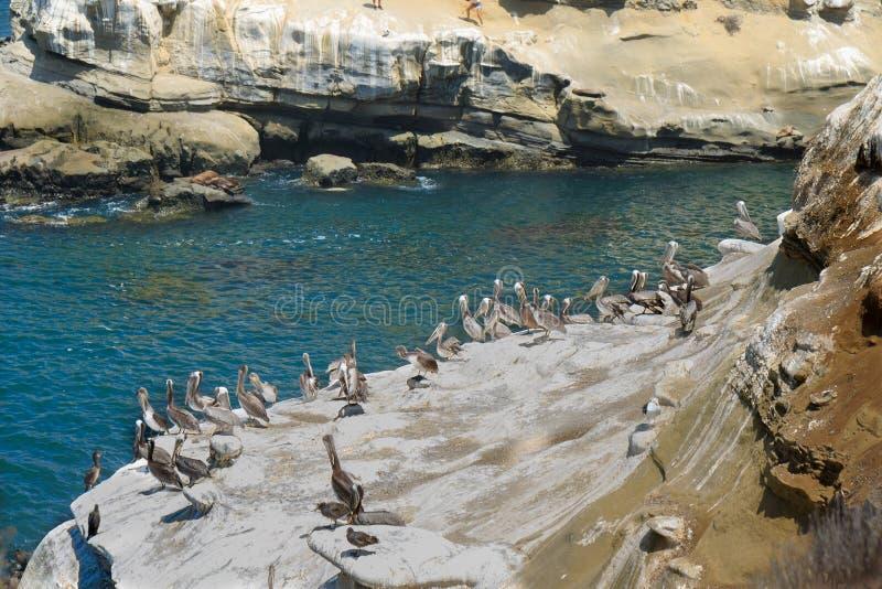 Pelicans a La Jolla Cove fotografia stock libera da diritti