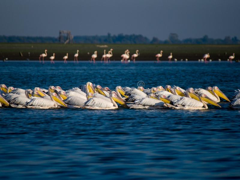 PELICANS IN LAKE KERKINI WITH FLAMINGOS IN BACKGROUND royalty free stock photos