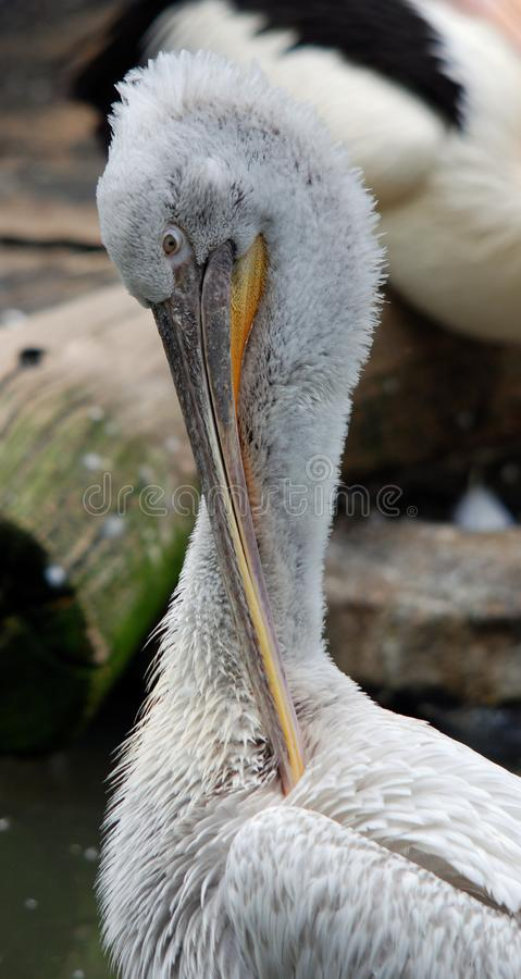 Pelicans are a large water birds. stock image