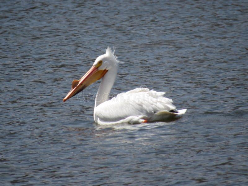pelicans fotografía de archivo libre de regalías