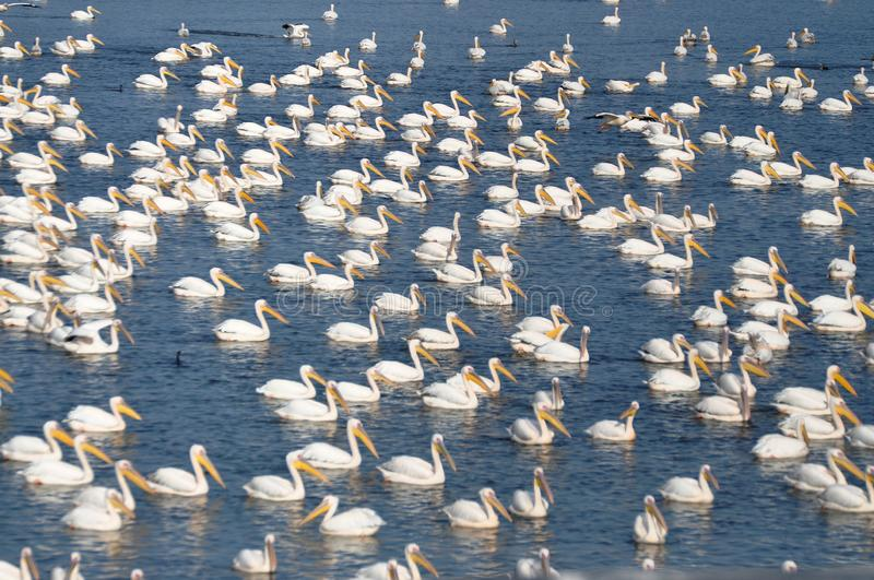 Pelicans and more pelicans stock images