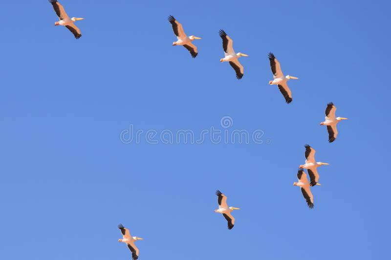 Pelicans in Namibia royalty free stock photos