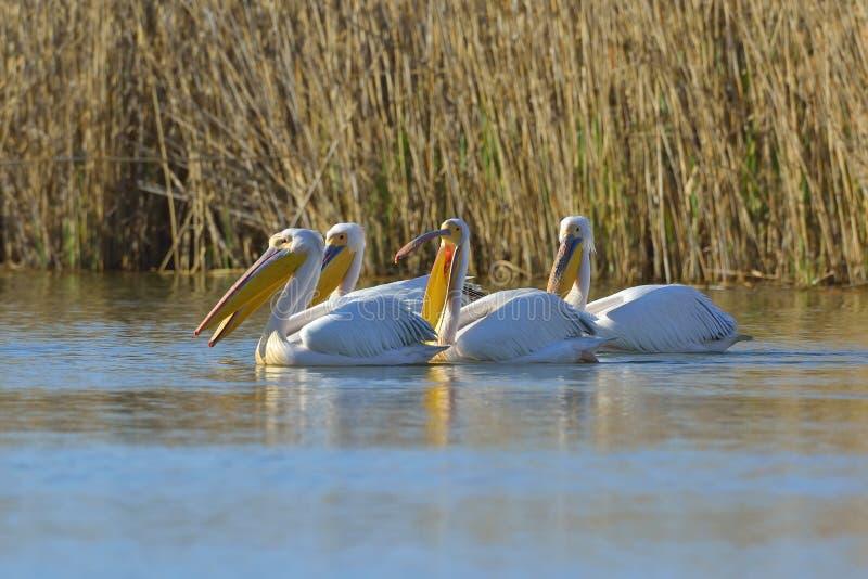 Pelicans. In natural habitat (pelecanus onocrotalus royalty free stock photo