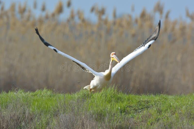 Pelicans. In natural habitat (pelecanus onocrotalus royalty free stock photography