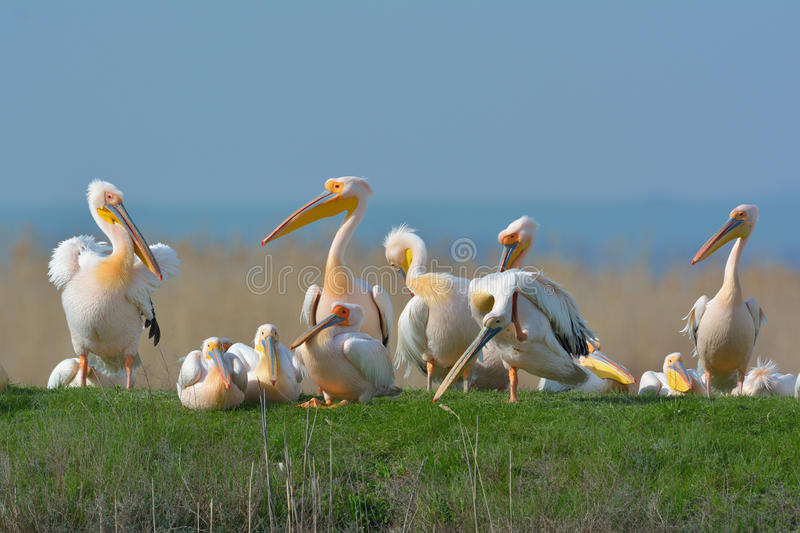 Pelicans. In natural habitat (pelecanus onocrotalus royalty free stock images