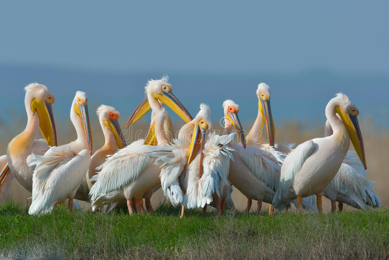 Pelicans. In natural habitat (pelecanus onocrotalus stock images