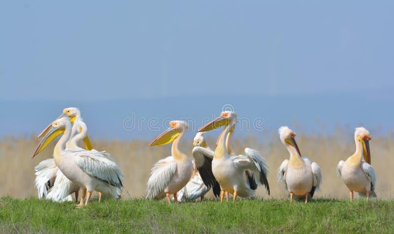 Pelicans. In natural habitat (pelecanus onocrotalus stock image