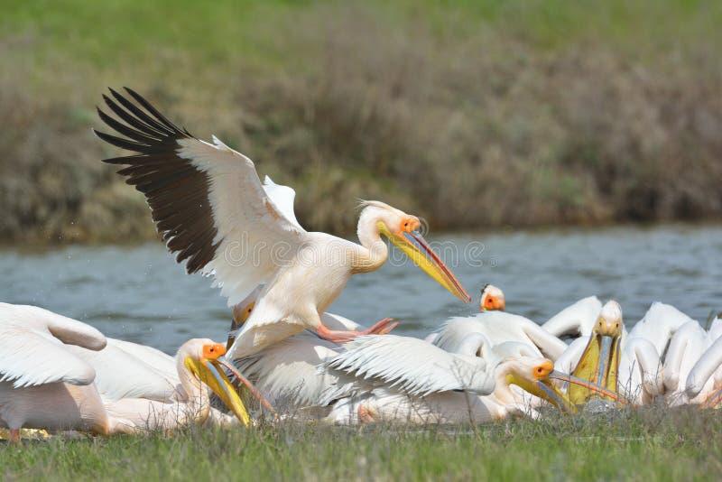 Pelicans. In natural habitat (pelecanus onocrotalus stock photos