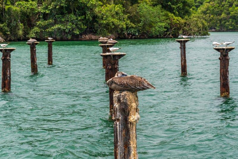 Pelicans nesten dicht bij elkaar royalty-vrije stock afbeeldingen