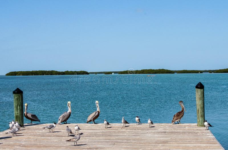 Pelicans - and other birds - on the end of the pier with the bay and fishing boats and kayaks on the water in the Florida Keys. Pelicans and other birds - on the stock photography