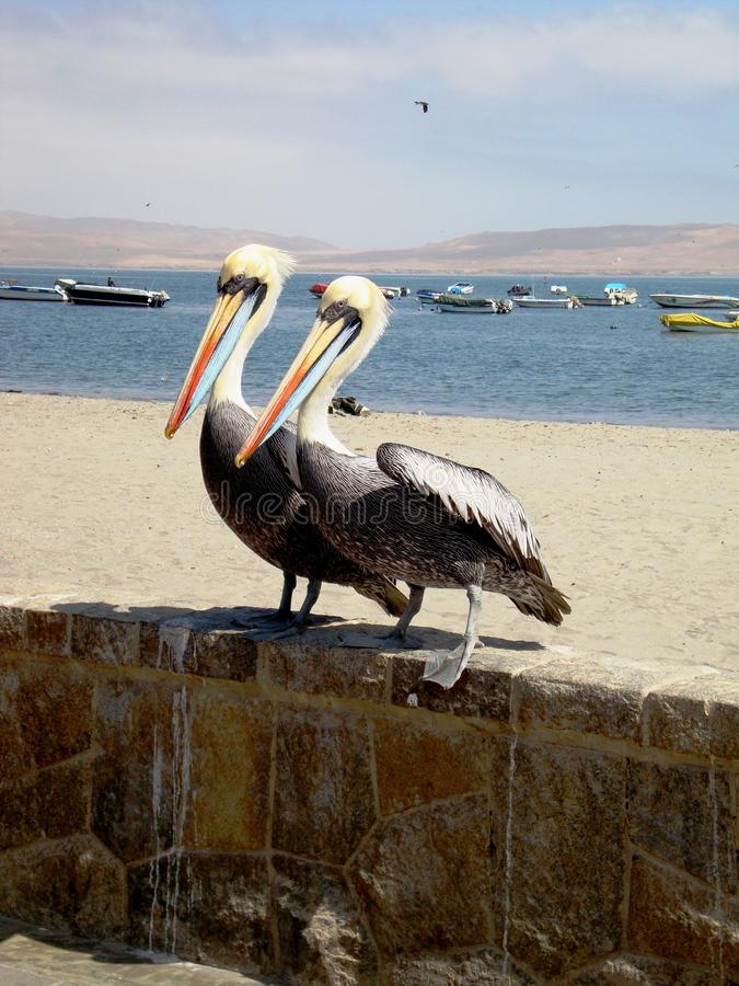Pelicans Paracas, Peru royalty free stock photo