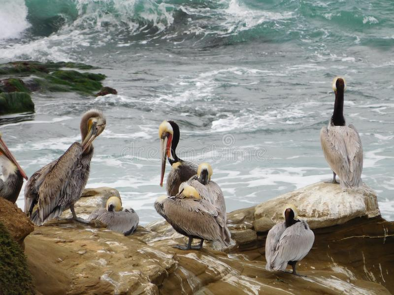 Pelicans Perched. White grey and brown pelicans perched in the foreground on brown rocks above the surge of the waves and tide stock photo