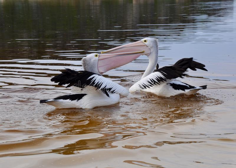 Pelicans at Play in the Moore River royalty free stock photos