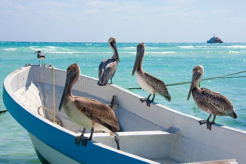 Pelicans at Playa Del Carmen, Mexico royalty free stock images