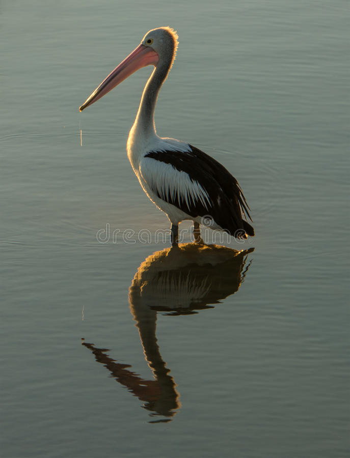 Free Pelicans Reflection Royalty Free Stock Image - 49909516