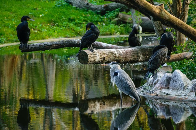 Pelicans rest on the pond stock images