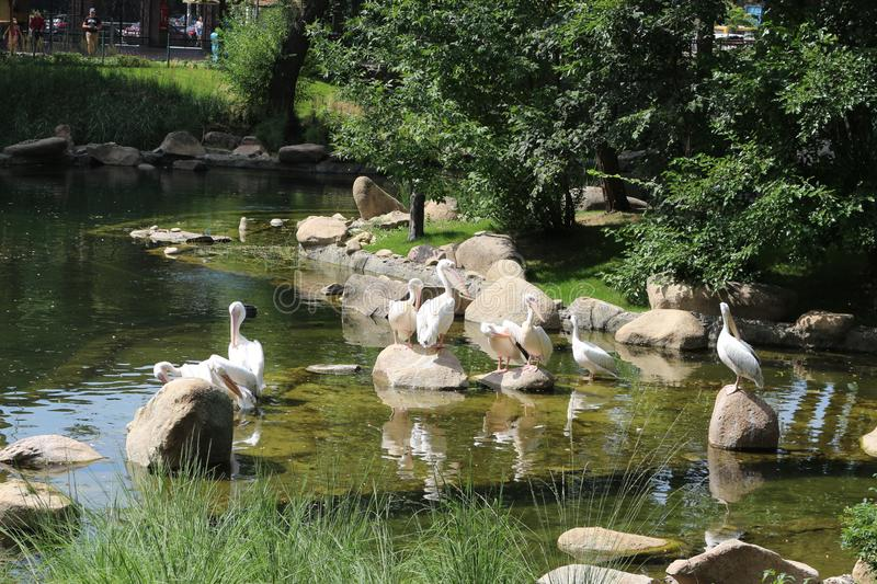 Pelicans rest on a pond in a zoo royalty free stock photo