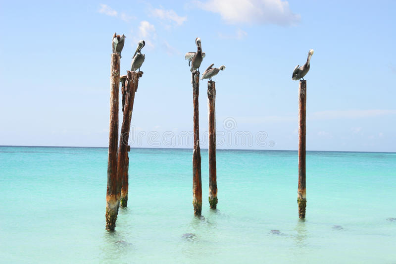 Download Pelicans Resting On Wooden Poles, Aruba, Caribbean Stock Photo - Image: 27429140