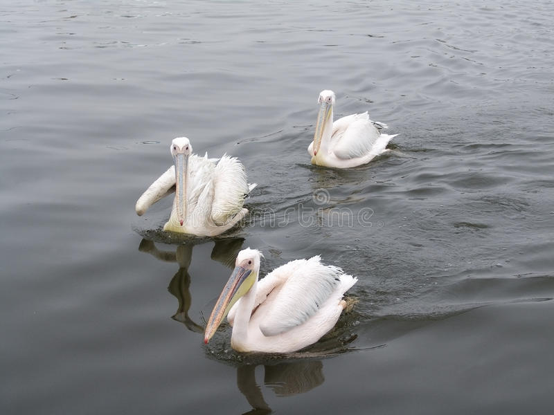 Pelicans sail on a sea smooth surface stock photography