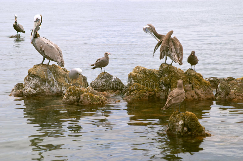 Pelicans and seabirds on rocks