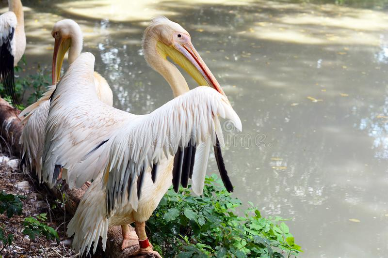 Pelicans sit on the shore near the lake. Pelicans sit on the shore near the lake stock photography