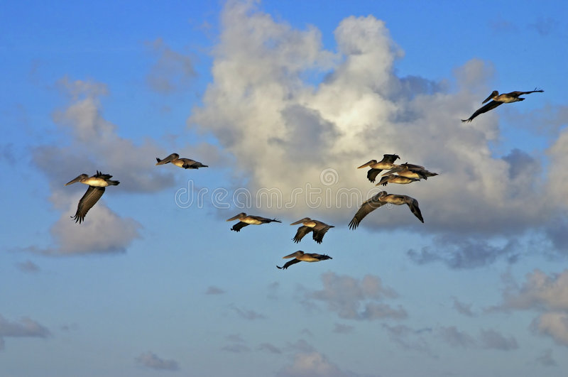 Download Pelicans at sunrise stock photo. Image of peaceful, clouds - 1708790