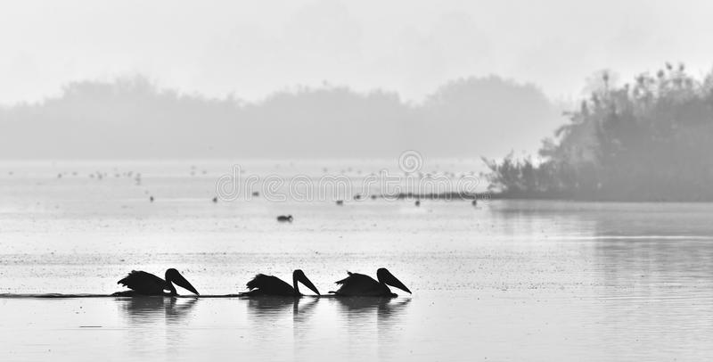 Pelicans swim across the water in the morning mist. Black and white photo royalty free stock photo