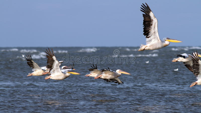 Download Pelicans Taking Off In Group Stock Photo - Image: 33550284