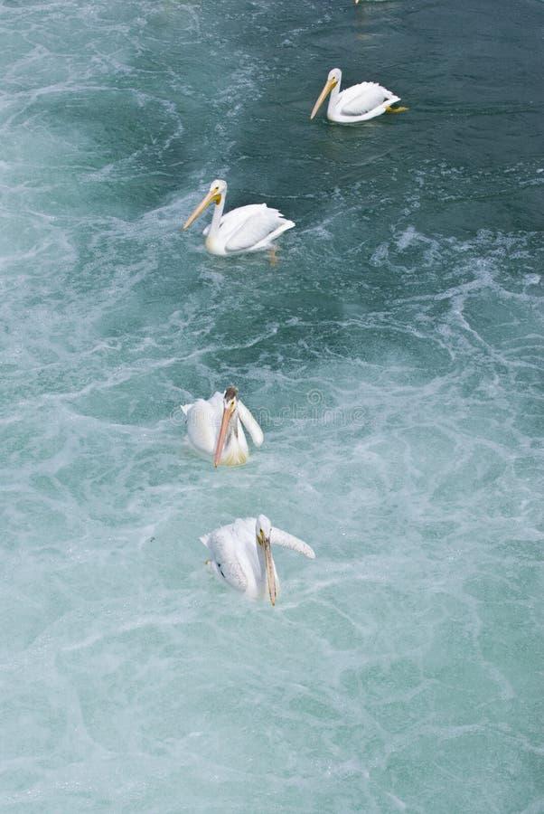 Download Pelicans in water stock image. Image of pelecanus, outdoor - 3878119
