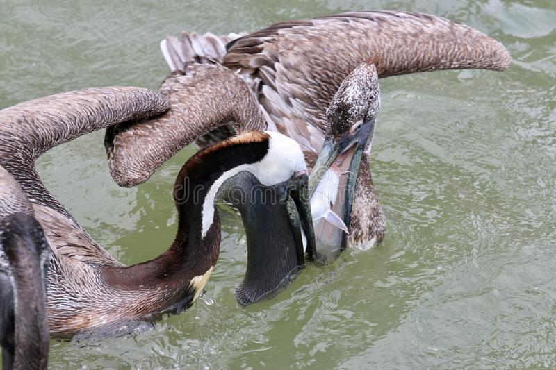 Pelicans in the water fighting for fish stock image