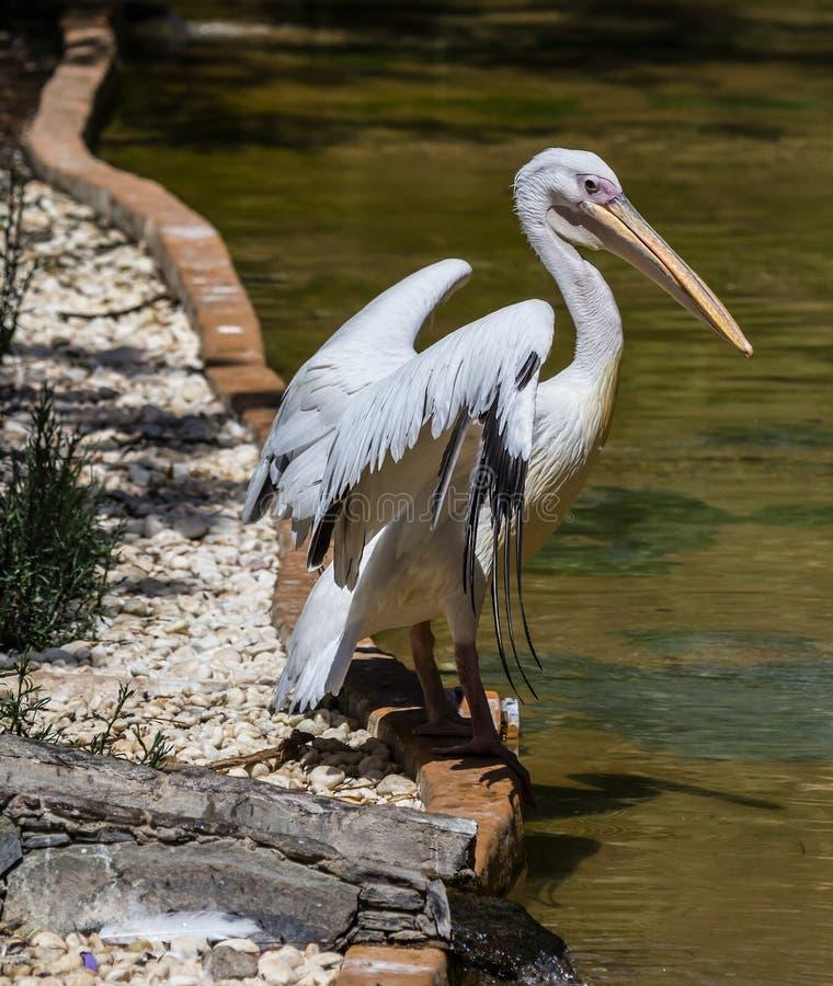 Pelicanus стоковые изображения