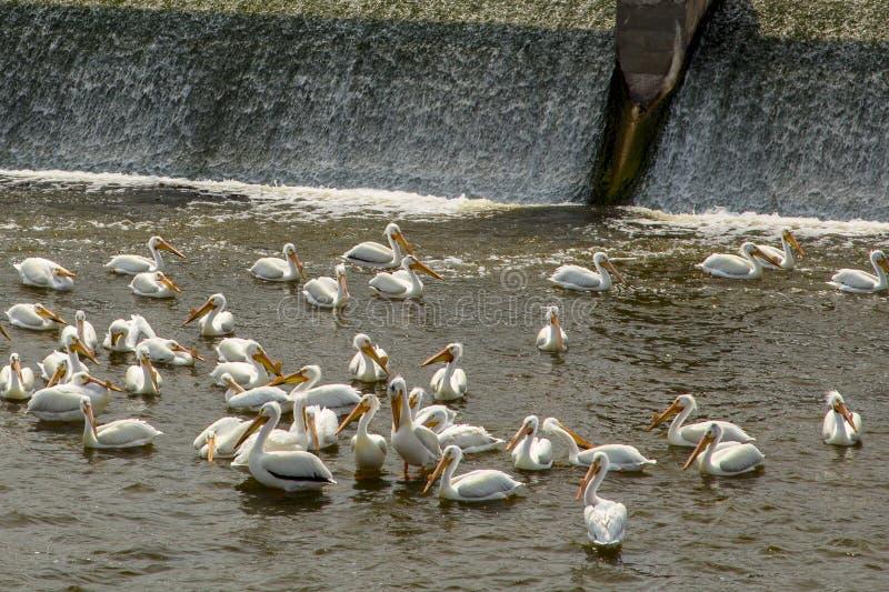 Peligans Gather at the Dam stock photos