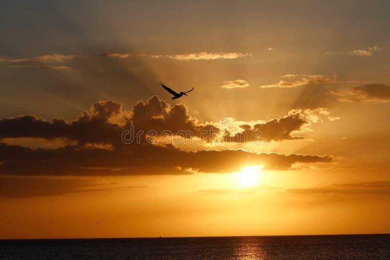 Pelikaan bij zonsondergang stock afbeeldingen
