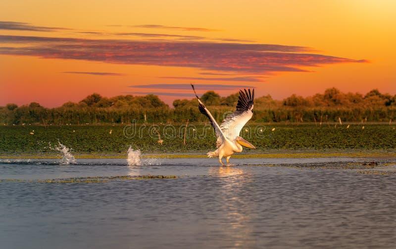 Pelikaan bij zonsondergang die met een waterplons van start gaan in de Delta van Donau stock foto