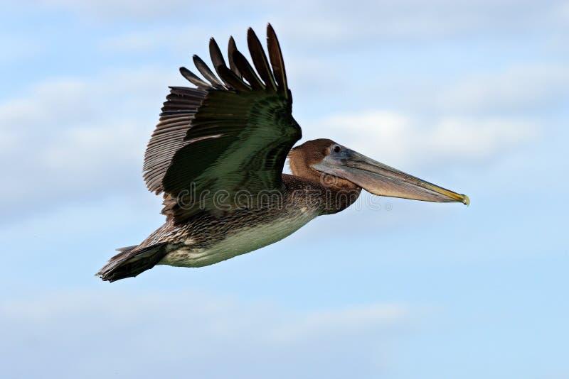 Pelikaan die in het blauwe water beginnen Het bruine Pelikaan bespatten in water vogel in het donkere water, aardhabitat, Florida royalty-vrije stock foto