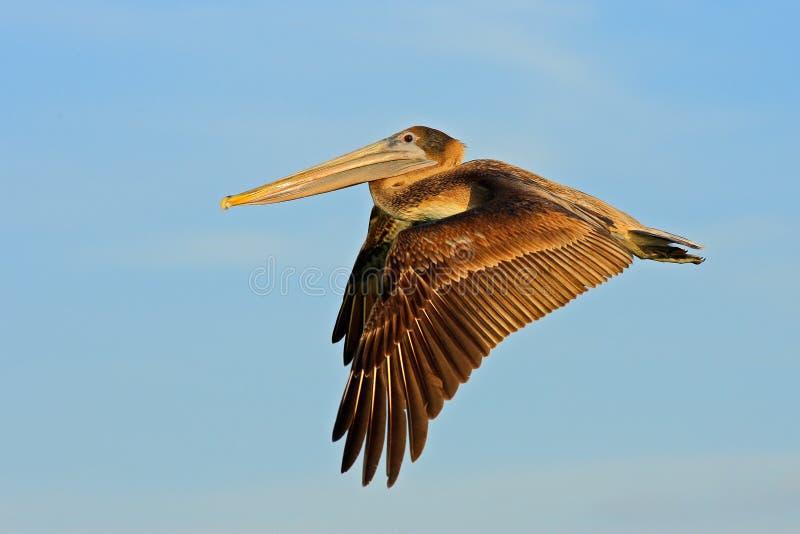 Pelikaan die in het blauwe water beginnen Het bruine Pelikaan bespatten in water vogel in het donkere water, aardhabitat, Florida stock afbeeldingen