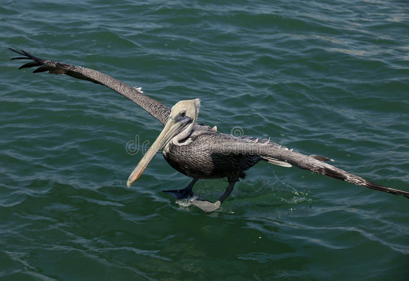 Pelikaan die op water landt royalty-vrije stock afbeelding