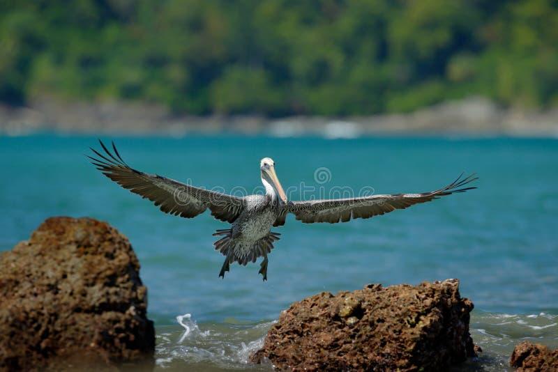 Pelikaan die van de blauwe oceaan beginnen, die het water in aardhabitat bespatten, Costa Rica Het wildscène van oceaan Bruine vo stock foto