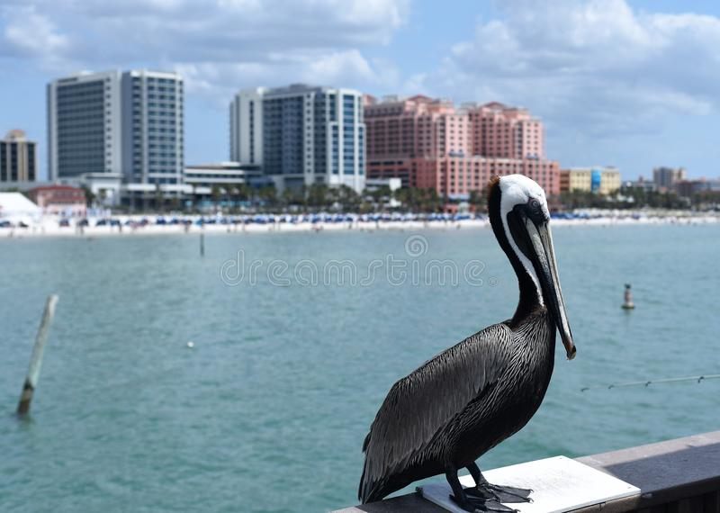 Pelikaan die zich voor lange gebouwen in Clearwater-strand bevinden royalty-vrije stock afbeeldingen