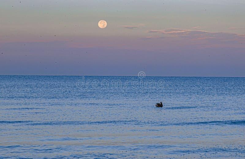 Pelikaan en Volle maan bij Indisch Rotsenstrand, Florida royalty-vrije stock afbeelding