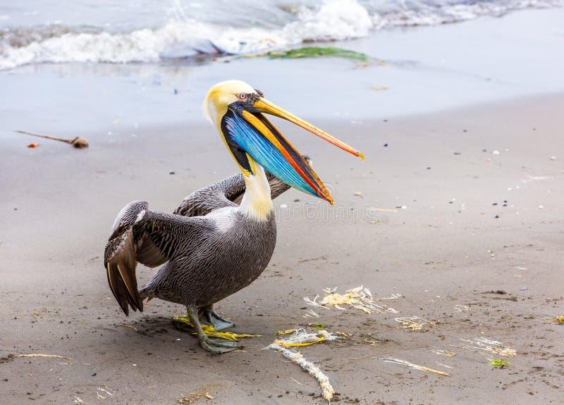 Pelikaan op Ballestas-Eilanden, Peru Zuid-Amerika in het Nationale park van Paracas. stock afbeeldingen