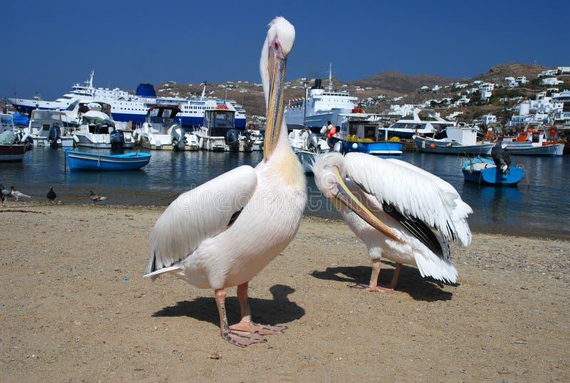 Pelikaan van Mykonos, Griekenland
