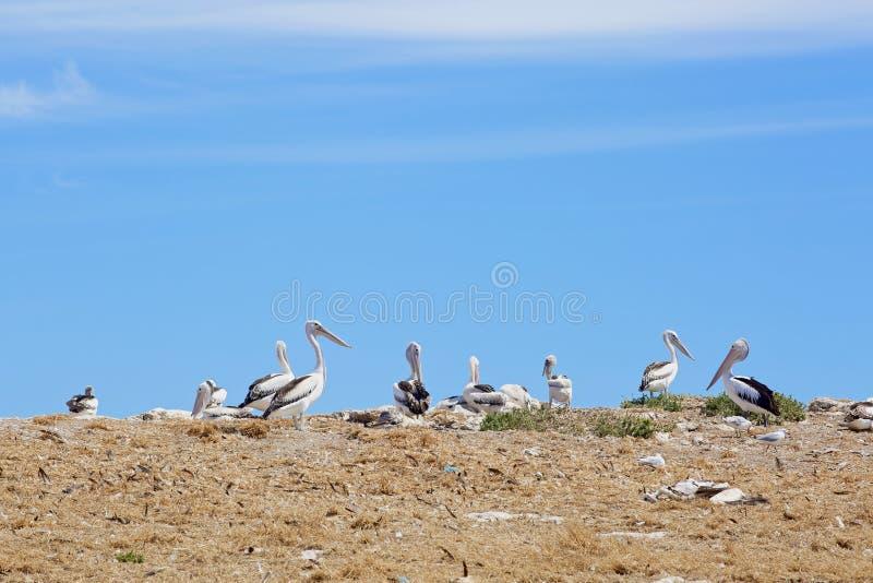 Pelikaanheiligdom en mariene vogels royalty-vrije stock afbeeldingen